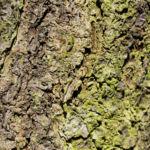 Vogel Kirsche Rinde braeunlich Prunus avium 02