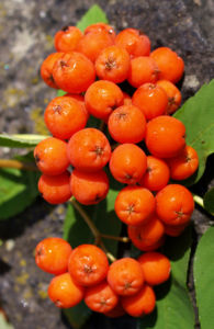 Vogelbeere Eberesche Baum Fruechte orange rot Sorbus aucuparia 04
