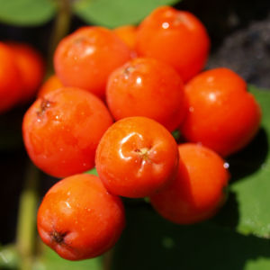 Vogelbeere Eberesche Baum Fruechte orange rot Sorbus aucuparia 07