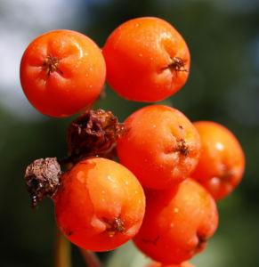Vogelbeere Eberesche Baum Fruechte orange rot Sorbus aucuparia 08