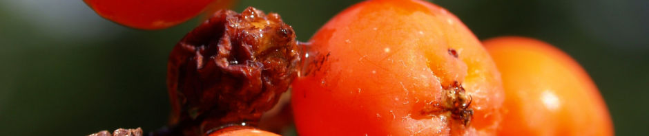 eberesche-baum-frucht-orange-rot-sorbus-aucuparia