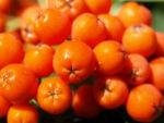 Vogelbeere Eberesche Baum Fruechte orange rot Sorbus aucuparia 09