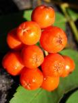 Vogelbeere Eberesche Baum Fruechte orange rot Sorbus aucuparia 10