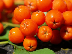 Vogelbeere Eberesche Baum Fruechte orange rot Sorbus aucuparia 11