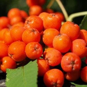 Vogelbeere Eberesche Baum Fruechte orange rot Sorbus aucuparia 14