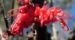Zurück zum kompletten Bilderset Vogelschnabel Hakea Blüte rot Blatt grün Hakea orthorrhyncha