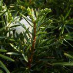 Wacholder Nadeln Juniperus communis 02