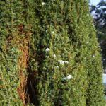 Wacholder Nadeln Juniperus communis 03