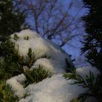 Wacholder Nadeln Juniperus communis 04