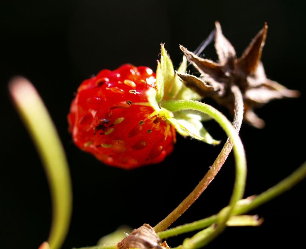 Wald Erdbeere Frucht rot Fragaria vesca