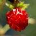 Zurück zum kompletten Bilderset Wald-Erdbeere Frucht rot Fragaria vesca
