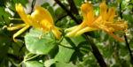 Wald Geissblatt Bluete orange Lonicera periclymenum 06