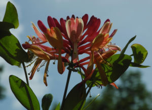 Wald Geissblatt Bluete rot orange Lonicera periclymenum 16