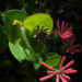 Zurück zum kompletten Bilderset Wald-Geißblatt Blüte rot orange Lonicera periclymenum