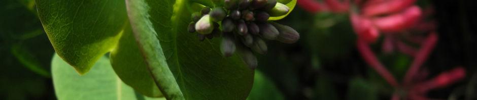 wald-geissblatt-bluete-rot-orange-lonicera-periclymenum