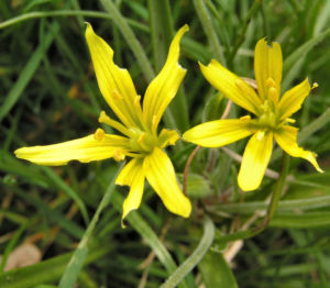 Wald Goldstern Bluete gelb Gagea lutea 02
