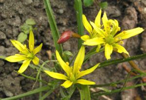 Wald Goldstern Bluete gelb Gagea lutea 04