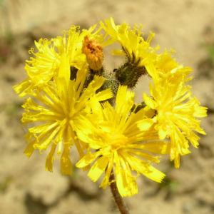 Wald Habichtskraut Bluete gelb Hieracium sylvestris 01