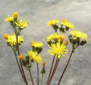 Wald Habichtskraut Bluete gelb Hieracium sylvestris 02