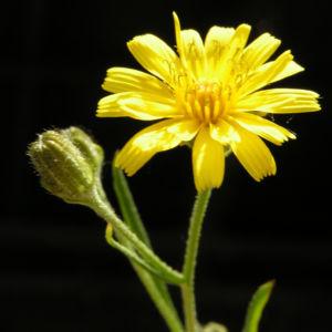 Wald Habichtskraut Bluete gelb Hieracium sylvestris 03