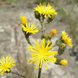 Wald Habichtskraut Bluete gelb Hieracium sylvestris 04
