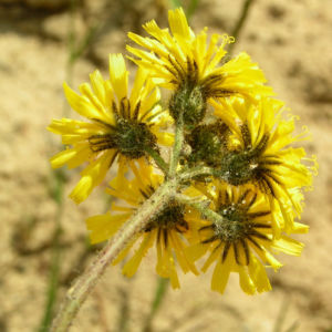 Wald Habichtskraut Bluete gelb Hieracium sylvestris 05
