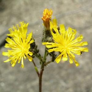 Wald Habichtskraut Bluete gelb Hieracium sylvestris 08