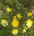 Bild: Wald-Habichtskraut Blüte gelb Hieracium sylvestris