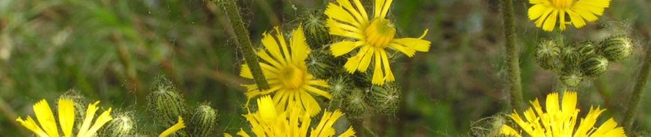 wald-habichtskraut-bluete-gelb-hieracium-sylvestris