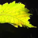 Wald Hasel Blatt Corylus avellana 02