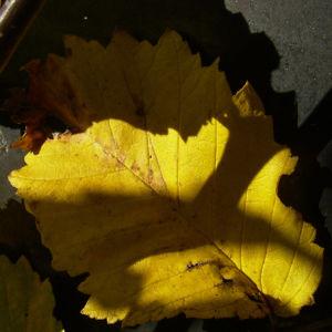 Wald Hasel Blatt Corylus avellana 03