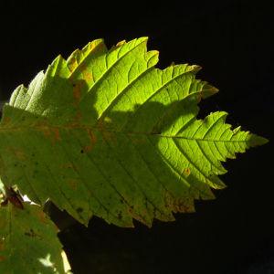 Wald Hasel Blatt Corylus avellana 04