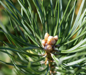 Wald Kiefer Foehre Nadeln gruen Pinus sylvestris 05
