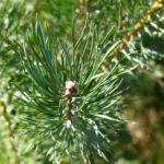 Bild: Waldkiefer Gemeine Kiefer Nadeln grün Pinus sylvestris