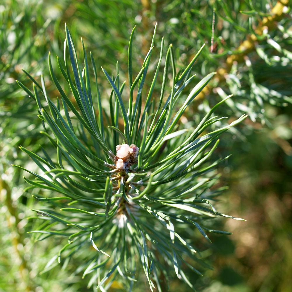 Wald Kiefer Foehre Nadeln gruen Pinus sylvestris
