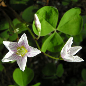 Wald Sauerklee Bluete weiss Oxalis acetosella 01