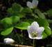 Zurück zum kompletten Bilderset Waldsauerklee Blüte weiß Oxalis acetosella