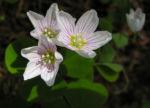 Wald Sauerklee Bluete weiss Oxalis acetosella 03