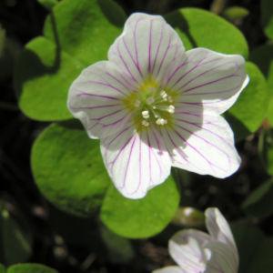 Wald Sauerklee Bluete weiss Oxalis acetosella 04