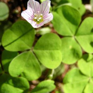 Wald Sauerklee Bluete weiss Oxalis acetosella 05