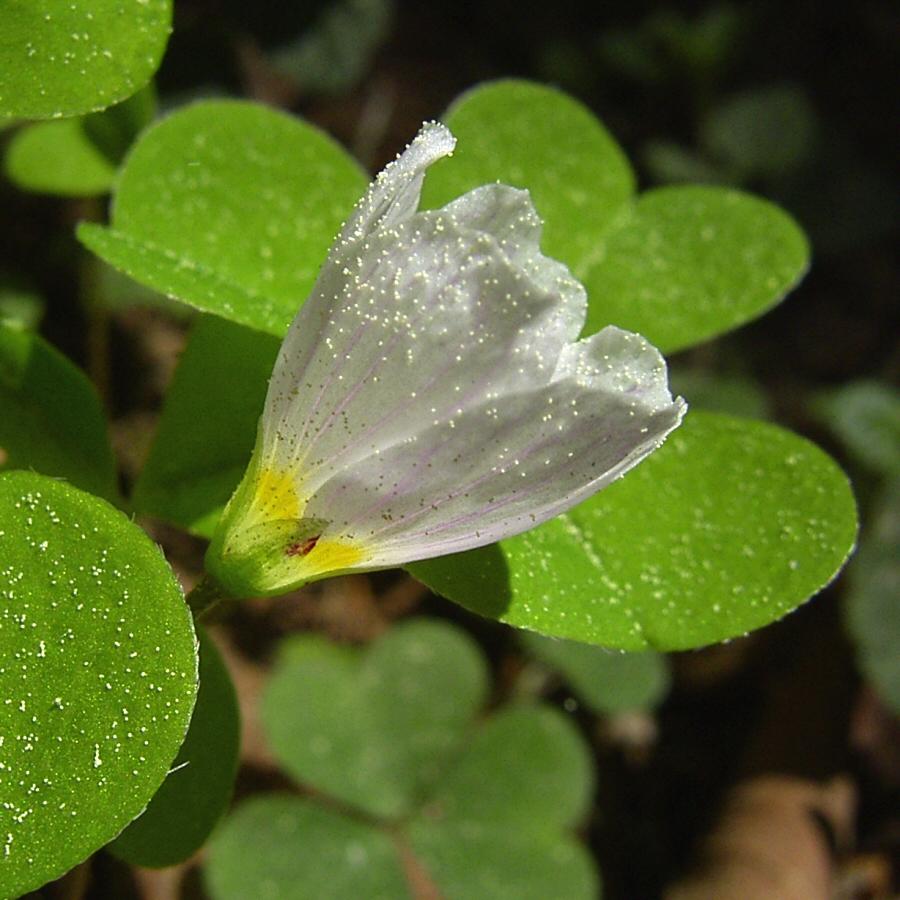 Wald Sauerklee Oxalis acetosella