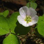 Wald Sauerklee Oxalis acetosella 02