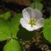 Zurück zum kompletten Bilderset Wald Sauerklee Blüte weiß rosa Oxalis acetosella