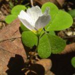 Wald Sauerklee Oxalis acetosella 04