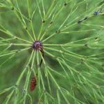 Wald Schachtelhalm gruen Equisetum sylvaticum 02
