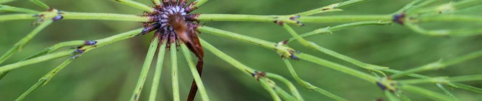 wald-schachtelhalm-gruen-equisetum-sylvaticum