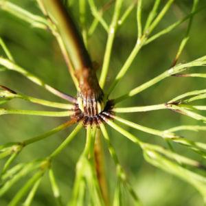 Wald Schachtelhalm gruen Equisetum sylvaticum 09