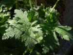 Wald Storchschnabel Blatt gruen Geranium sylvaticum 02