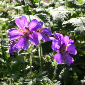 Wald-Storchschnabel Blüte lila Blatt Pelargonie sylvaticum