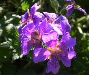Wald Storchschnabel Bluete lila Geranium sylvaticum 04